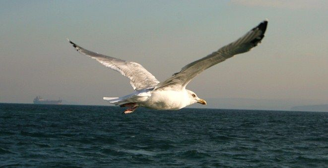 Flying ant day is feast day for herring gulls http://societyofbiologyblog.org/gulls-flying-ant-day/