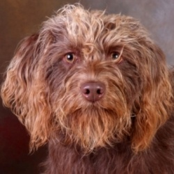 Hershey is an adoptable Poodle Dog in Chester Springs, PA. Hershey is a wonderful young female small labradoodle maybe mixed with a terrier of some sort (she looks like a dark brown Benji really!). He...