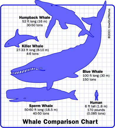 Google Image Result for http://static.ddmcdn.com/gif/whale-size.gif