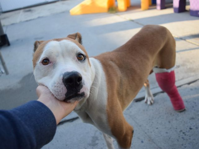 SHAE - A1126835 - - Brooklyn  TO BE DESTROYED 10/06/17**ON PUBLIC LIST** -  Click for info & Current Status: http://nycdogs.urgentpodr.org/shae-a1126835/