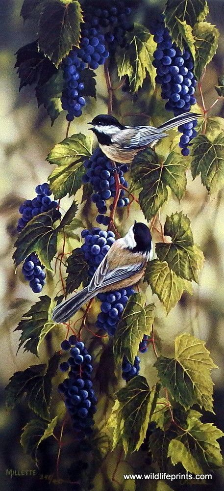 "This beautiful vine is full of purple grapes, and as they ripen the chickadees take a liking to them. This print is signed and numbered and is available unframed in an image size of 10""x21"""