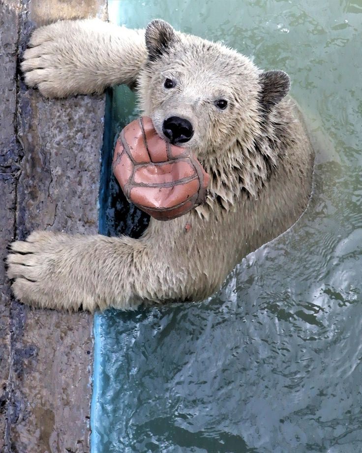 00 Our Smaller Brothers 19. 20.10.13. Polar Bear. Krasnoyarsk RF