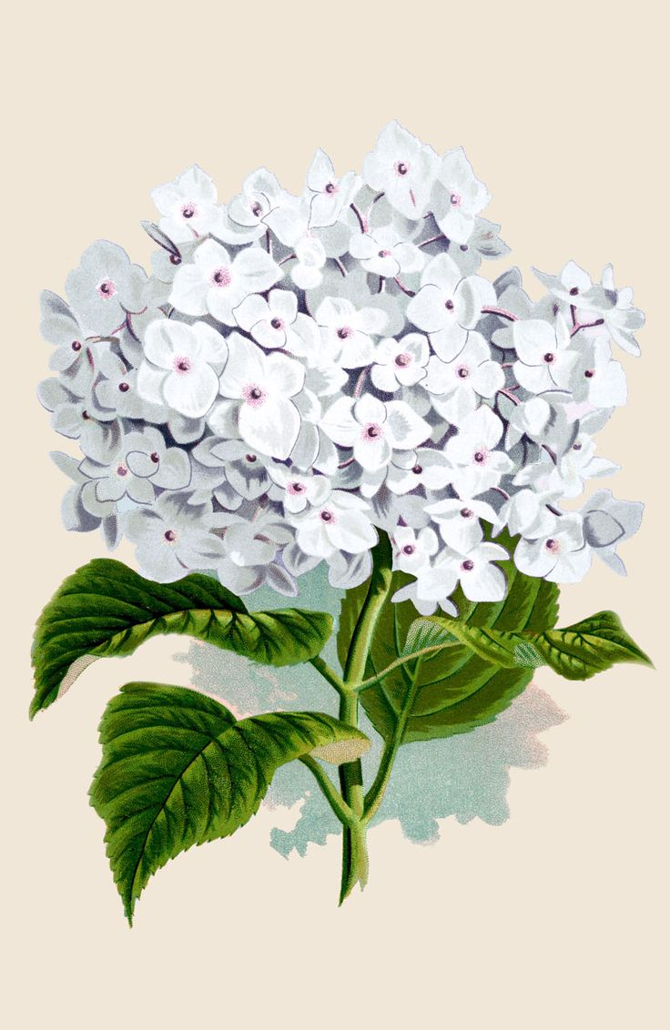 Vintage Instant Art Printable - White Hydrangea - The Graphics Fairy