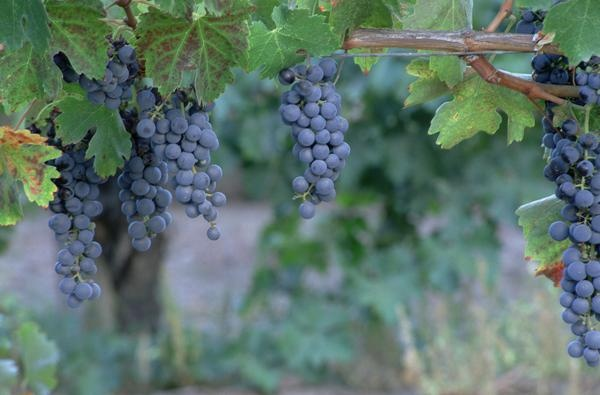 How to take starts of a grape vine vines grape vines - Difference between wine grapes and table grapes ...