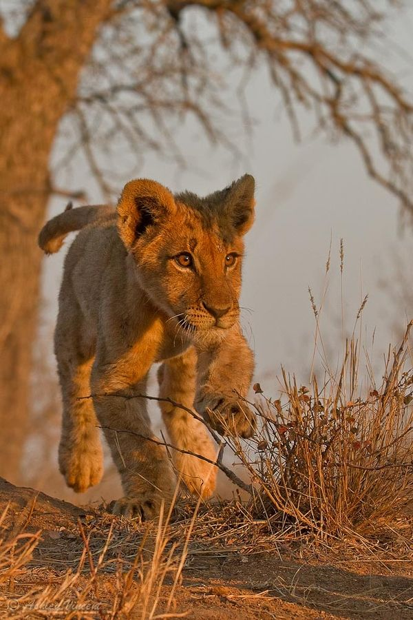 FootlooseBig Cat, Sports Photos, South Africa, Lion King, Wild At Heart, Ashley Vincent, Baby Lion, Lion Cubs, Animal