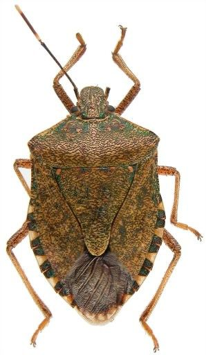 Get Rid of Stink Bugs the Cheap Way – Square Pennies