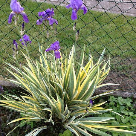 Iris pallida Aurea Variegata  -29 Цветки лаванд-голуб или лаванд-синс жёлтой бородкой, сладко-ароматные, Цветение в июне. Цветоносы до 120 см. Листья  55-60 см, с крем-золот и сер-зелён  полос. Требует хор дрениров почвы.