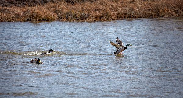 Escape. Male mallard ducks fighting in the water of city Enkoeping