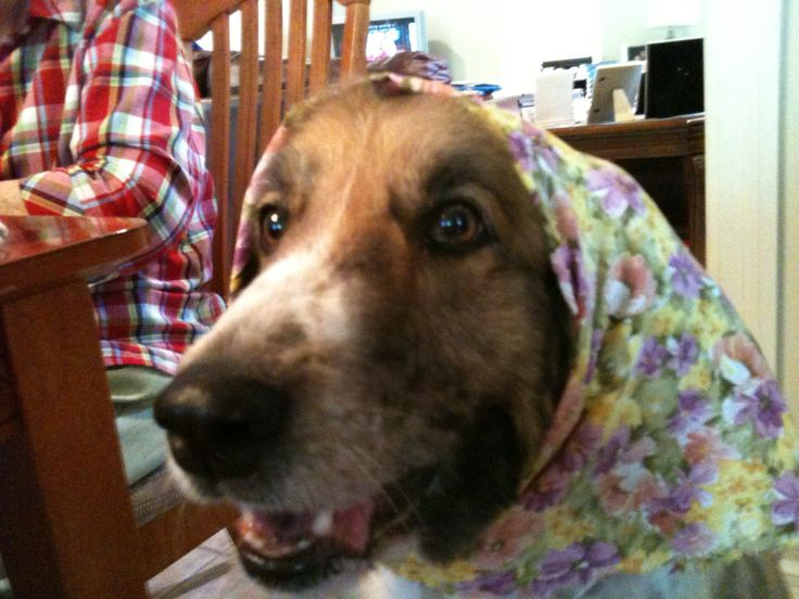 My baby girl wearing a babushka!  Her name is Stella and she's a mixture of Shetland Sheepdog/Border Collie mix.
