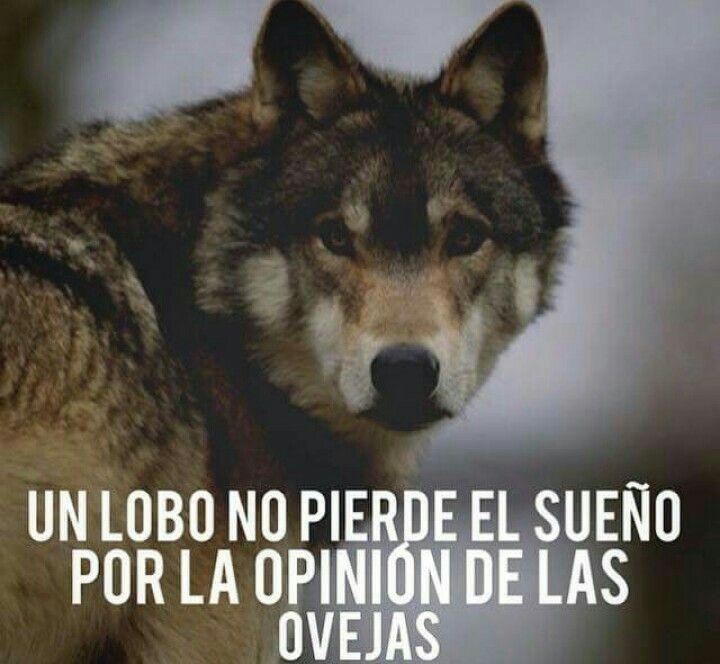 ... Un lobo no pierde el sueño por la opinión de las ovejas.