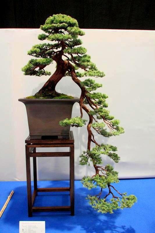 thinking something like this for my myrtle Cascading Bonsai
