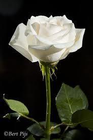 witte rozen - Google zoeken