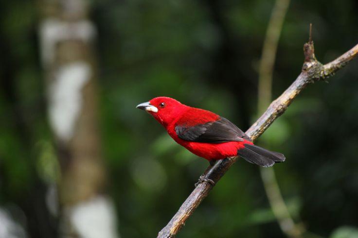 Bird Tiê-sangue