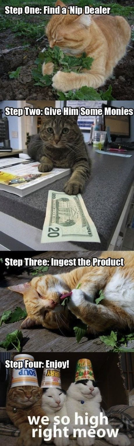 The life of a catnip addict.Laugh, Catnip, Crazy Cat, Funny Stuff, Humor, Cat Nip, So Funny, Kitty, Animal