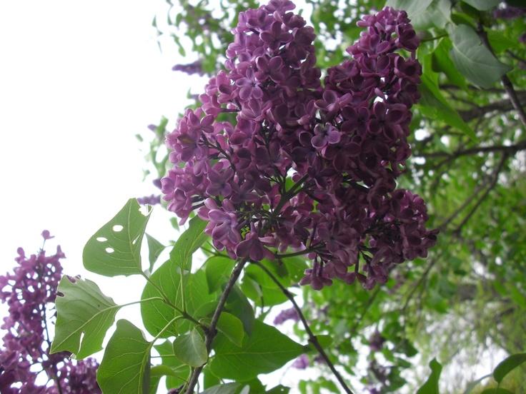 Syringa vulgaris 'Sarah Sands' lilac