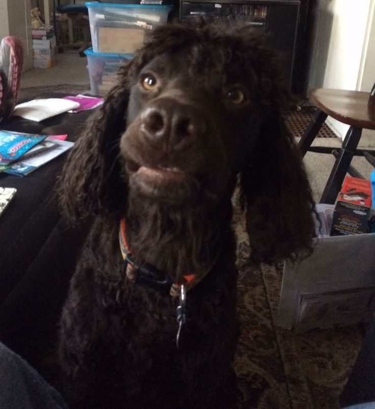 Destin the Irish water spaniel