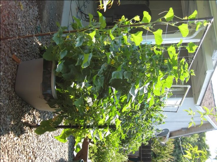 Grow Green Beans In Containers Google Search Garden Pinterest Pumpkins Square Foot