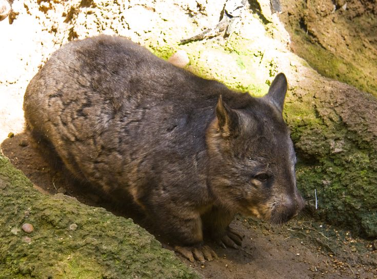 The Creature Feature: 10 Fun Facts About Wombats - BY MARY BATES - Photo: Jason Pratt, via Wikimedia Commons. Distributed under a CC-BY-2.0 license.