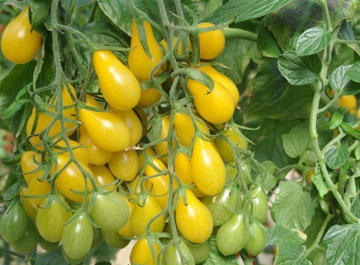 How to grow Yellow Pear Tomatoes. All great tomato cultivation begins with the soil. It should be nutrient-rich, well-tilled, and soft.