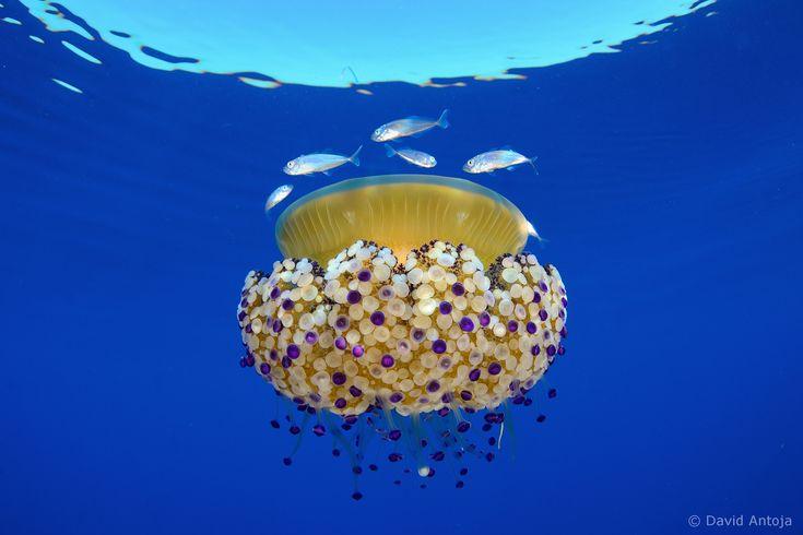 Mediterranean Jelly