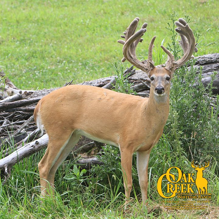 Shoot or Not! Would you harvest this young buck or would you let him grow another year? ‪#‎velvetbucks‬ ‪#‎monsterbuck‬ ‪#‎bigbucks‬ ‪#‎whitetails‬ ‪#‎bucks‬ ‪#‎deerhunting‬ ‪#‎deer‬ ‪#‎velvet‬ ‪#‎oakcreekgiant‬ ‪#‎outdoors‬ ‪#‎oakcreekwhitetailranch‬ ‪#‎giantwhitetails‬ ‪#‎missouribucks‬ www.oakcreekwhitetailranch.com