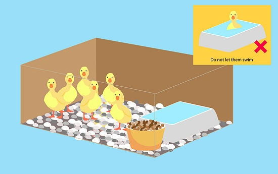 How to Take Care of Ducklings: 5 steps (with pictures) - wikiHow