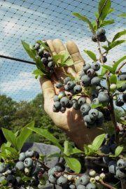 Le bleuet apprivoisé -  De 50 à 60 cm de hauteur, les plants vendus en pépinière sont habituellement âgés de 2 ans. Si leurs branches portent de nombreux bourgeons floraux lors de l'achat, ils devraient produire dès cet été. Toutefois, dans ce cas, il ne serait pas étonnant que l'année suivante, et parfois même lors des deux prochaines années, le bleuetier donne très peu de fruits, sinon aucun. C'est pour cette raison qu'en production commerciale, on élimine toujours  les fleurs à l'achat.