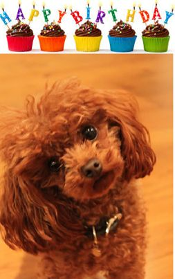 Poodle...don't you just love the head tilt..wondering where the birthday cake could be?