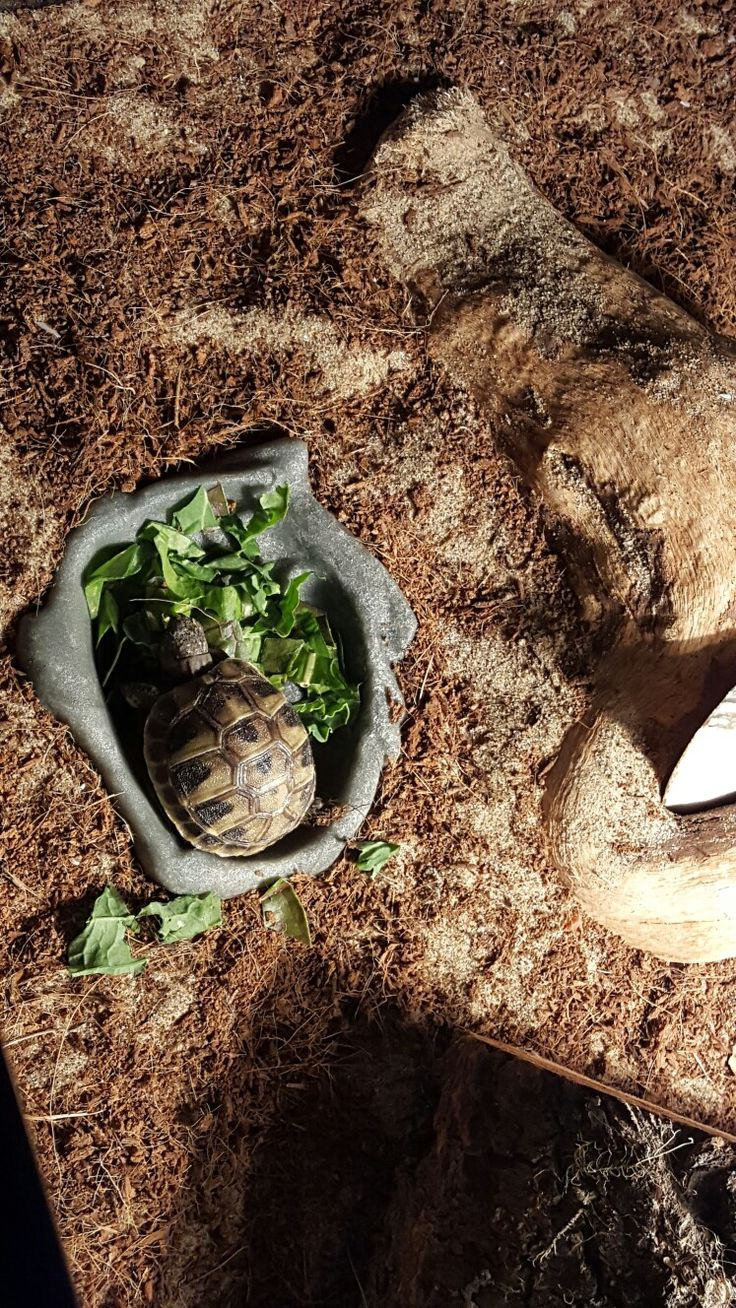 Baby Hermann's Tortoise (turtle)- couldn't get enough food so he got in the dish! Little piggy