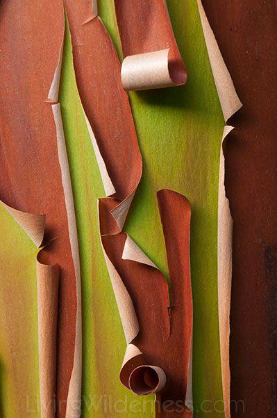 Peeling Bark, Arbutus Tree, Vancouver Island, Kevin Ebi