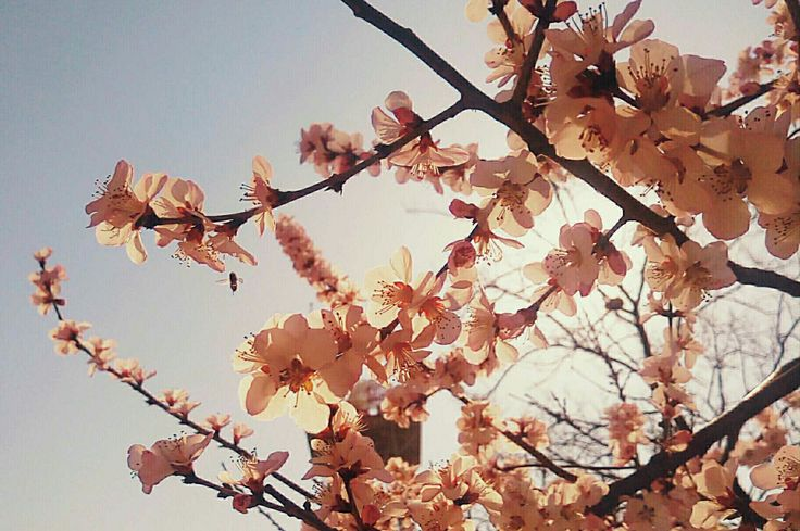 Peach blossom in Civil Aviation University of China. by JEAN-LOUIS