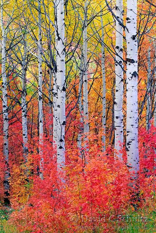 Maple and aspen trees in the fall, Wasatch Mountains, Utah                                                                                                                                                                                 More