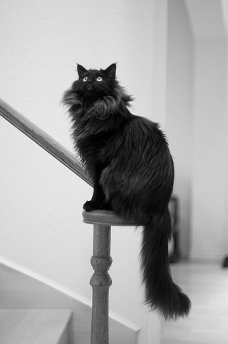 Black Maine Coon Cat http://www.mainecoonguide.com/where-to-find-maine-coon-kittens-for-sale/