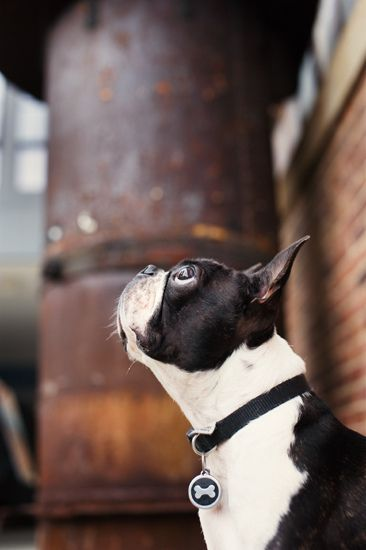 Boston Terrier identificado