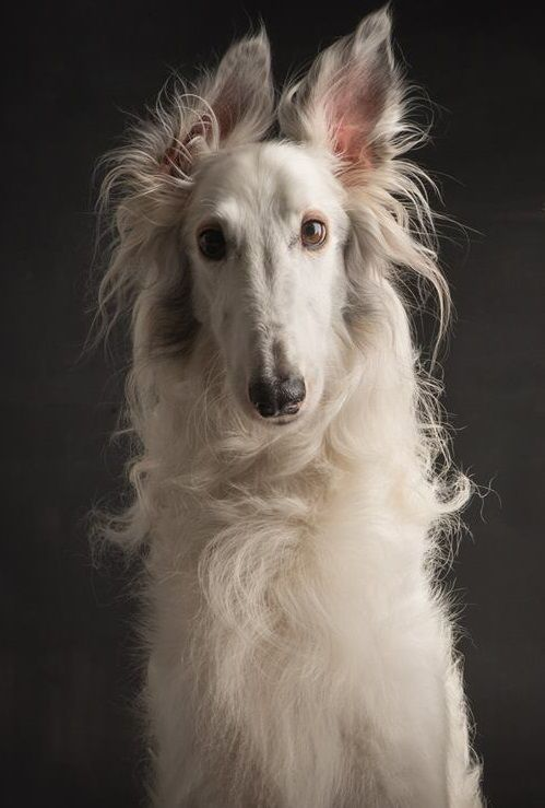 Silken Windhound Photographer:Paul Croes