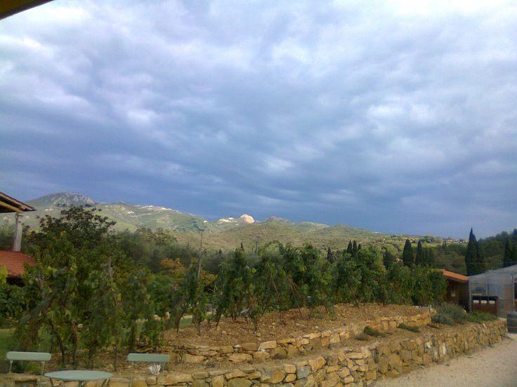 Riproduzione di vigneto ad alberello Isola d'Elba a Montefabbrello