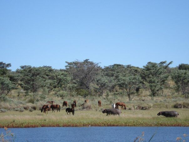 Horses and hippos grazing together at the Horizon Horseback dam