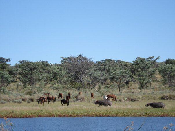 Horses and hippos grazing together at the Horizon Horseback dam