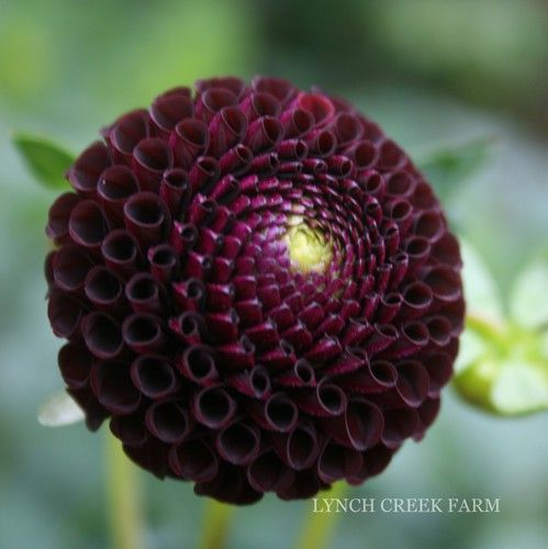 Dahlia Burgundy Black Flower: 1000+ Images About Dahlias On Pinterest
