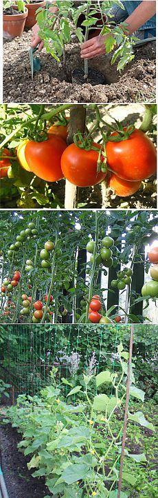 Несколько секретов в выращивании томатов и огурцов в открытом грунте | GreenHome