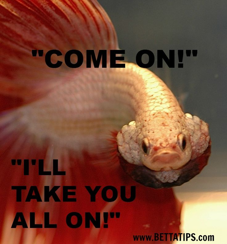 17 Best Images About Funny Betta Pictures On Pinterest