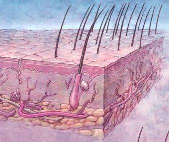 USEFUL FOR CLASS! skin anatomy