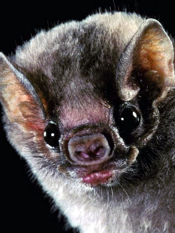 40 Bat Pictures Which Shows They Aren T Vampires In 2020 Vampire Bat Animals Animals Beautiful
