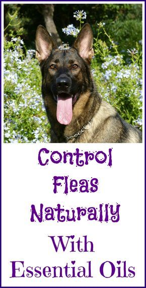 How to use essential oils for natural flea control.