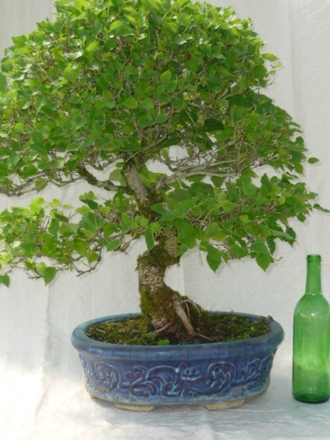 Indoor bonsai mulberry bonsai indoor bonsai for canada for Zen garden trees