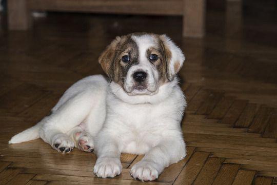 Achilles, Greek Shepherd 45 days puppy