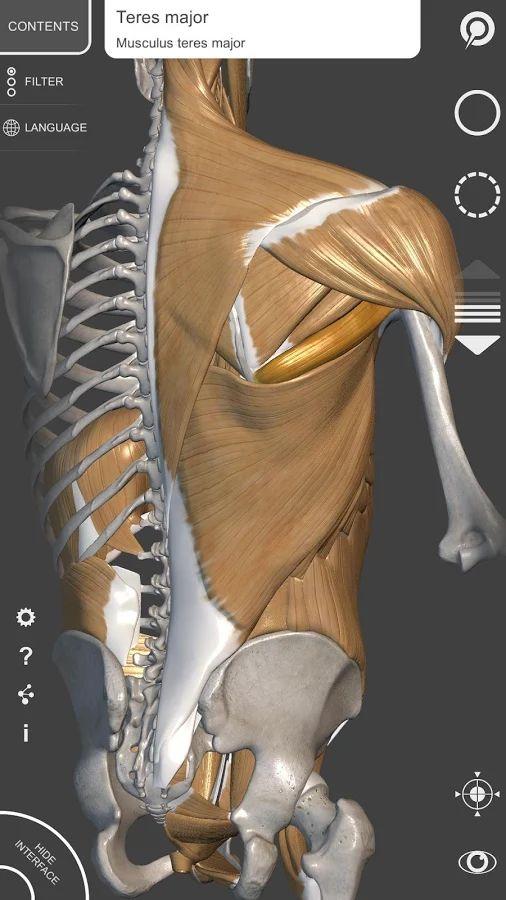 217 best anatomy breakdown images on pinterest   human anatomy, Muscles
