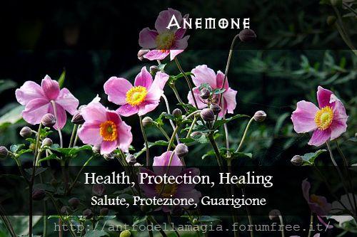 Magical Uses of Anemone: Health, Protection, Healing || Usi Magici dell'Anemone: Salute, Protezione, Guarigione || L'antro della magia http://antrodellamagia.forumfree.it/?t=56548146