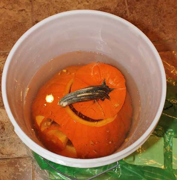 After you scoop out and carve your pumpkin, dip it in a large container of bleach and water (use a 1 tsp:1 gal mix). The bleach will kill bacteria and help your pumpkin stay fresh longer. Once completely dry, (drain upside down), add 2 tablespoon of vinegar and 1 teaspoon of lemon juice to a quart of water. Brush this solution onto your pumpkin to keep it looking fresh for weeks.