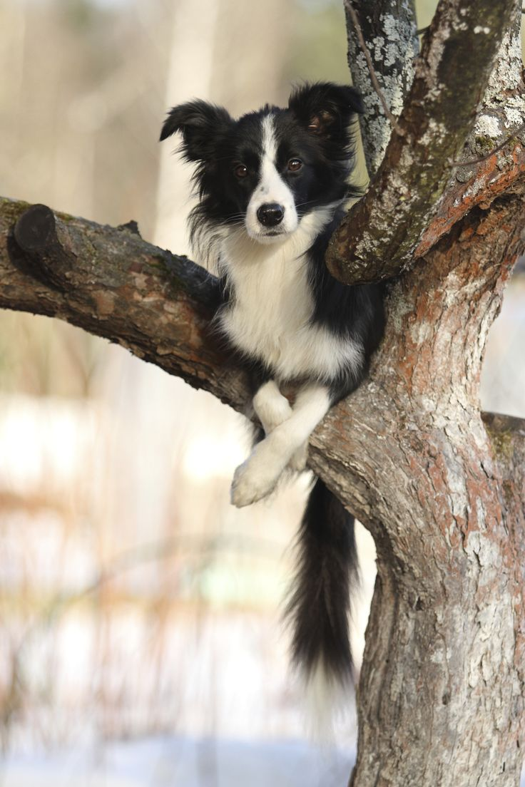 "** [BORDER COLLIE : "" Betters to watch over de herd from up heres. Howz me getz on a tree branch? Dats fer me to knowz and yoo to finds out."""